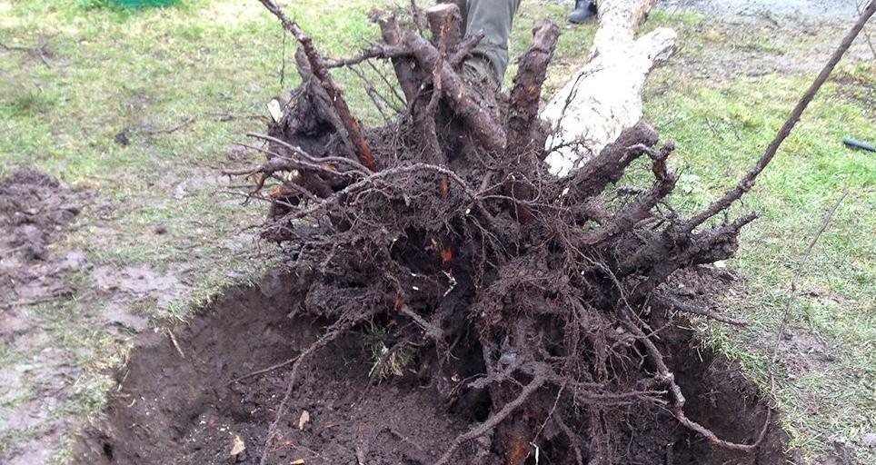 Как правильно выкорчевывать деревья
