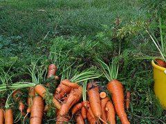 Как хранить морковь после уборки