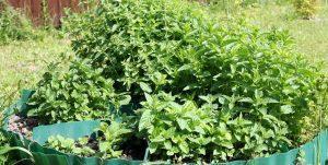 Уютная клумба из пряных трав в вашем саду
