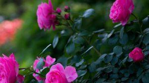 Интересные факты о прекрасной розе