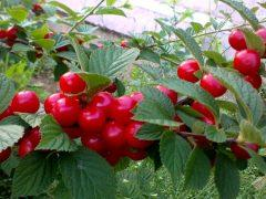 Войлочная вишня на садовом участке