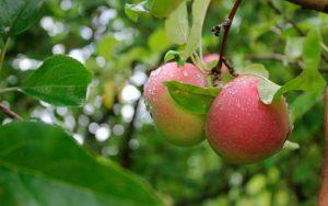 Правильный уход за яблоней
