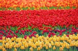 Цветоводство в Голландии