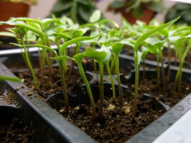 Как получить хорошую рассаду