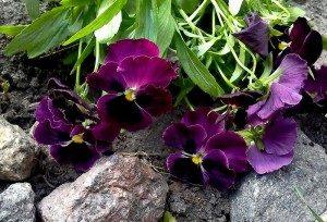 Фиолетовая виола или анютины глазки