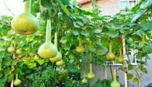 Декоративная тыква в наших огородах