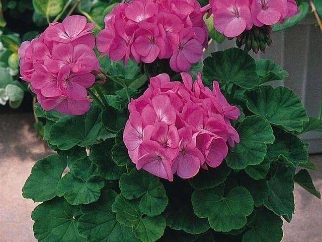 Цветы для балкона и лоджии