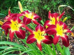 Выращивание лилейников на дачном участке