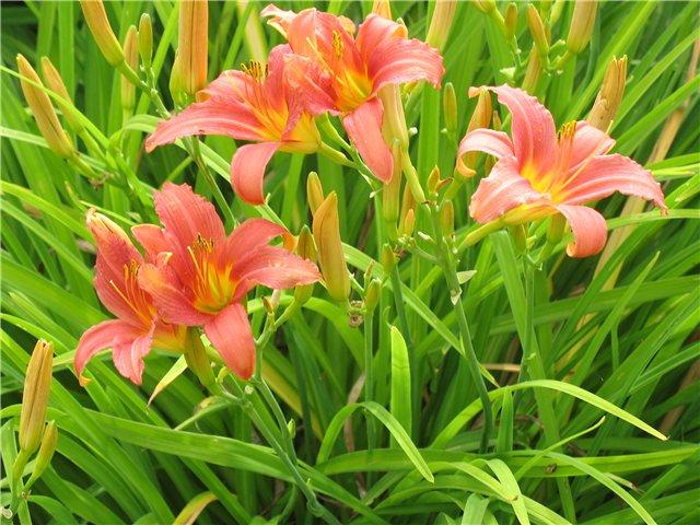 Типы вегетации лилейников