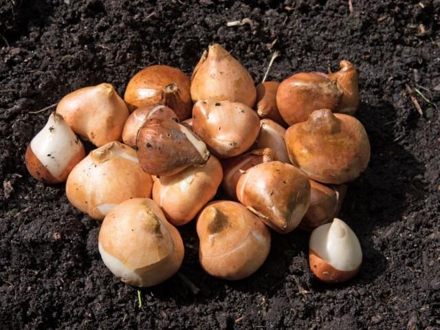 Как продлить жизнь луковицам