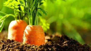 Полезные удобрения для моркови