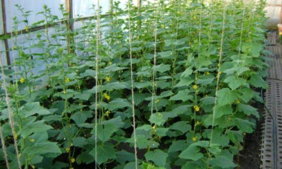 Как вырастить богатый урожай огурцов в теплице