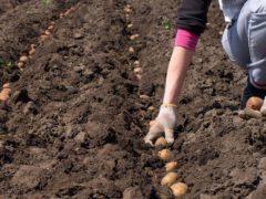Полезные советы по посадке картофеля