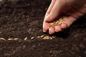 Как правильно сажать семена в грунт