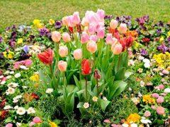 Посадка тюльпанов на даче