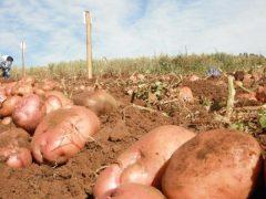 Методы экономии привозной земли под картошку