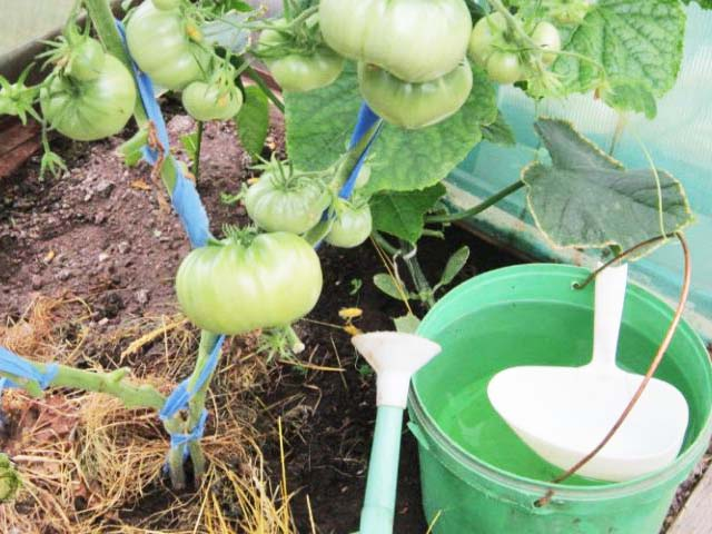 Чем подкормить помидоры в теплице