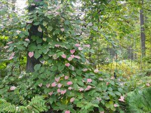 Красивые лианы для вашего сада и огорода