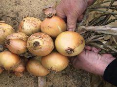 Как сохранить урожай лука