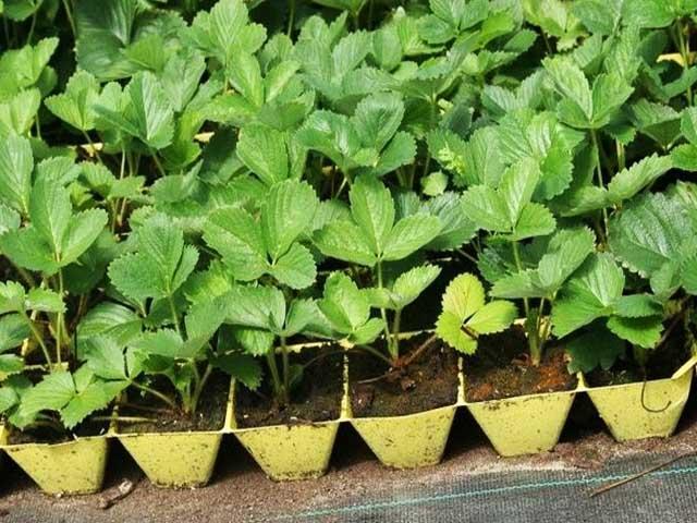 Как вырастить клубнику с помощью рассады