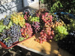 Виноград. Уход, посадка, полив и размножение. Сорта винограда.