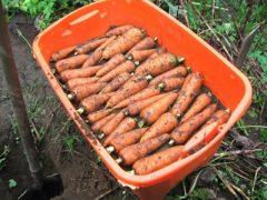 Как сохранить урожай моркови