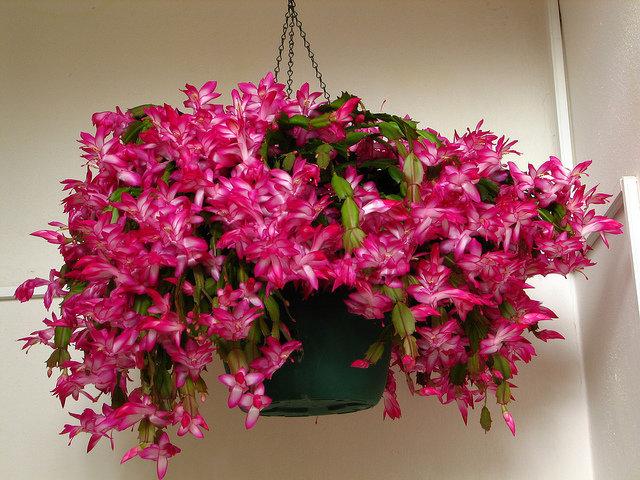 Декабрист - цветок воинственный и яркий