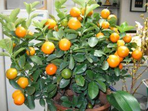 Выращивание цитрусовых в домашних условиях