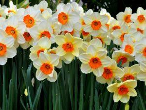 Цветы нарциссы на вашем участке