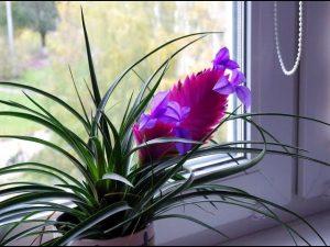 Тилландсия — экзотическая красотка в доме
