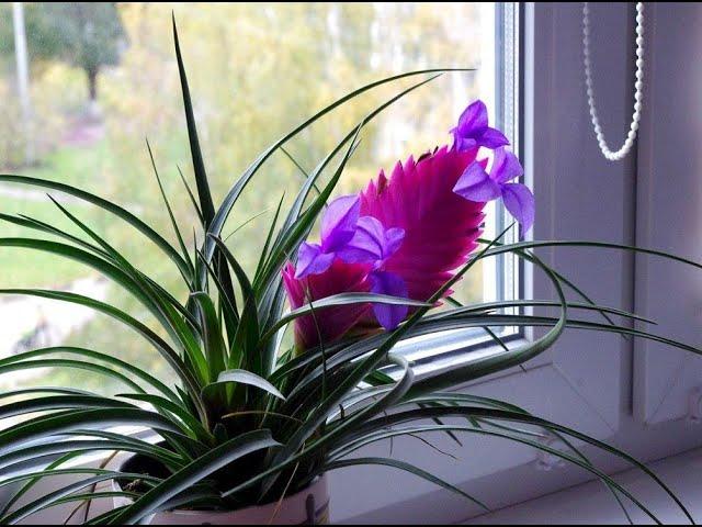 Тилландсия - экзотическая красотка в доме