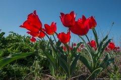 Дикорастущие тюльпаны