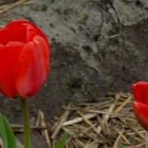 Тюльпан Довер