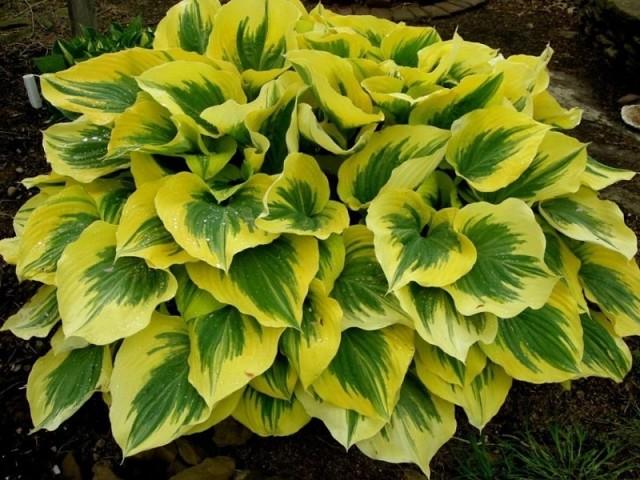 Хоста на дачном участке - растение с красочными листьями