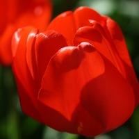 Тюльпан Атом