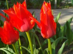 Тюльпан Лондон