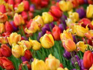 Тюльпан — весенний цветок. Очарование разновидностей и сортов
