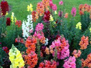 Выращивание Львиного зева (Антирринума) от рассады о цветка