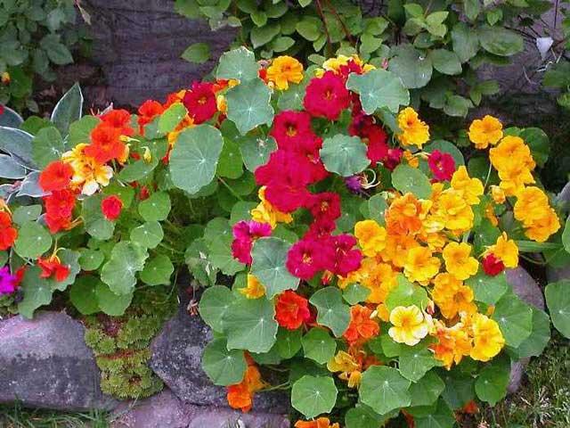 Настурция - милое очарование сада. Посадка и уход за настурцией.