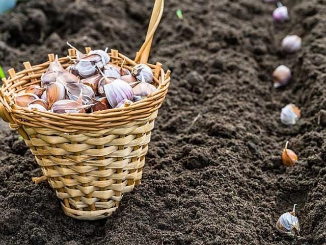Выращивание чеснока в различных условиях и уход за ним