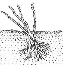 Посадка смородины