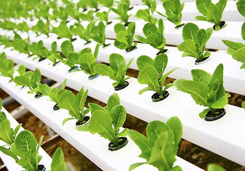 Выращивание редиса на гидропонике