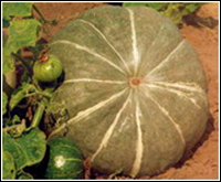 Сорт тыквы Украинская серая
