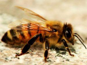Физиология зимующих пчел