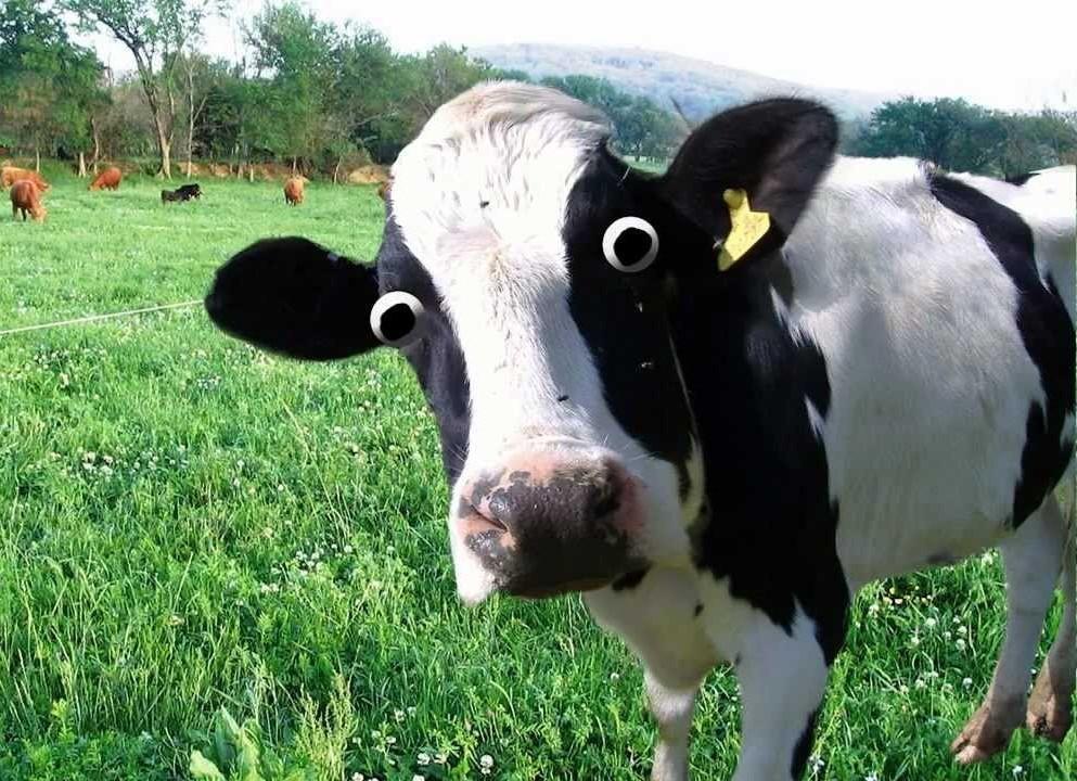 Запуск коровы