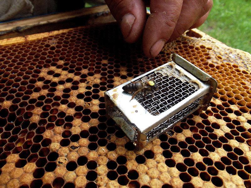 Условия и способы подсадок пчелиных маток