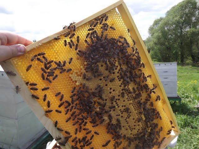 Медосбор в пчеловодстве