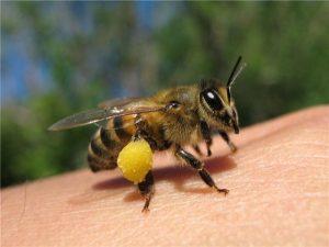 Пчелиная обножка (пыльца)