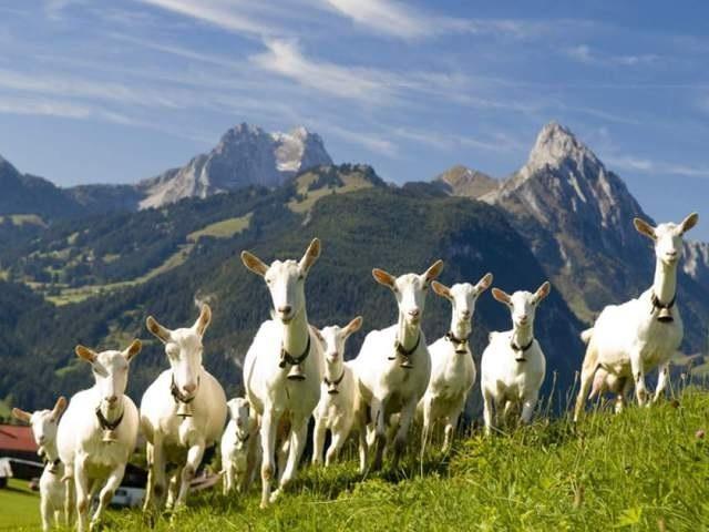 Выпас коз