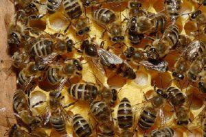 Выращивание расплода в условиях медосбора